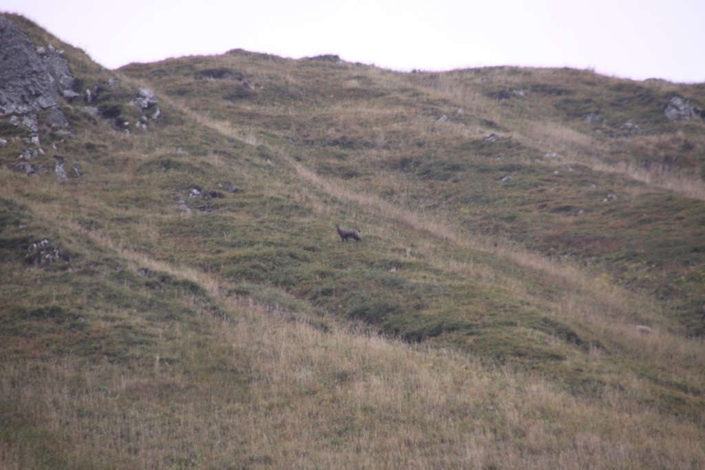 Mouflon on the Mountain, Puy de Sancy, France