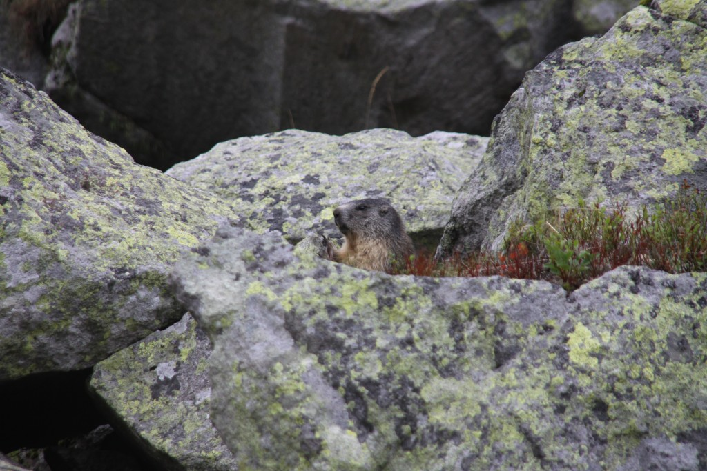 Marmot in Puy de Sancy, France