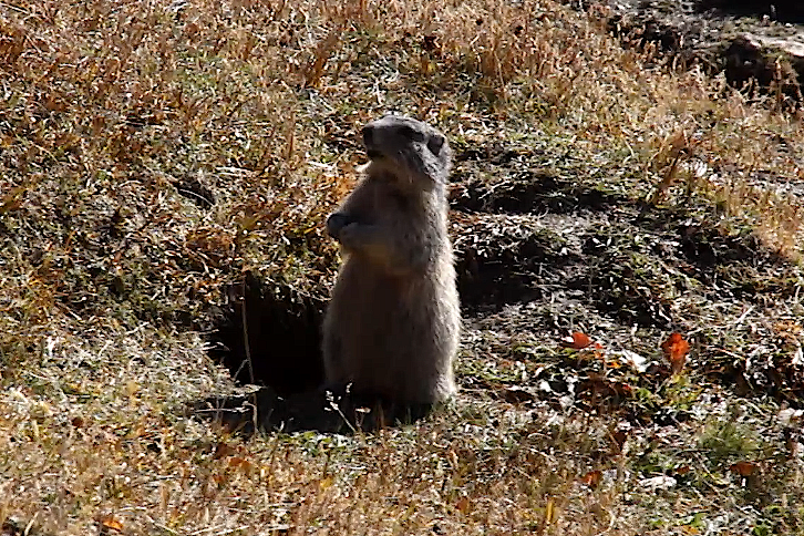 Alpine Marmot in Saint Veran (2015-09-21)